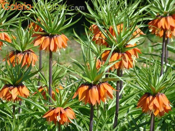 Рябчики императорский цветы 14