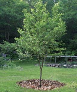 Полив плодовых деревьев в первые годы