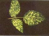 мозаика малины