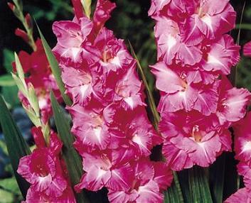 Фото цветов гладиолуса сорт rose laguna