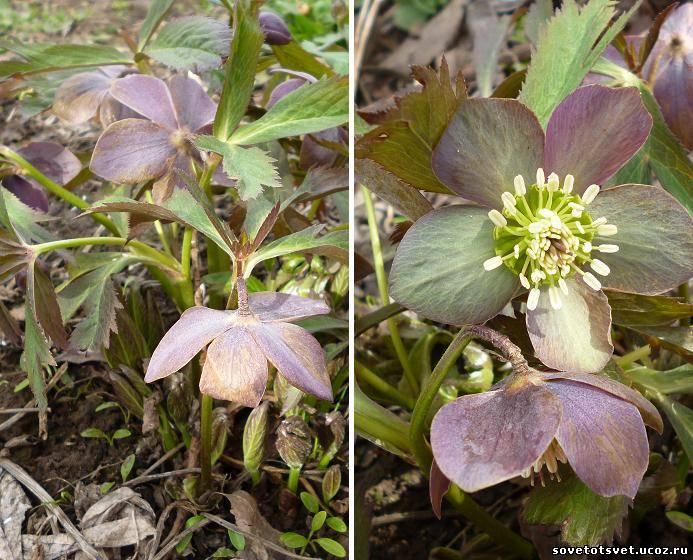Цветок морозник, выращивание и уход