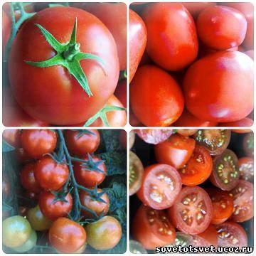 чем подкормить томаты, помидоры голодают