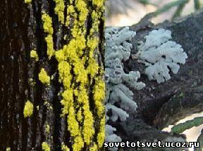 Лишайники на садовых плодовых деревьях, борьба