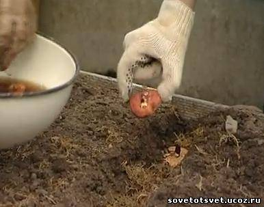 Подготовка и посадка луковиц гладиолусов весной, видео