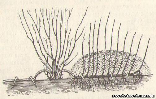 Размножение смородины и крыжовника горизонтальными отводками