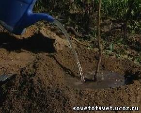 посадка деревьев при грунтовых водах