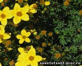 Трава череды, полезные свойства, применение, для новорожденных