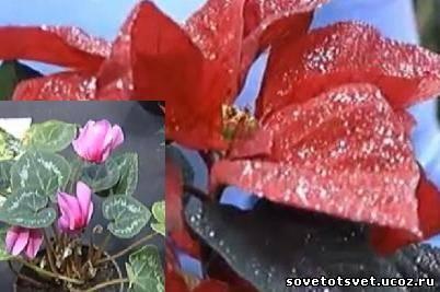 Цветок цикламен и пуансетия