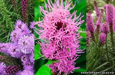 Лиатрис – посадка, уход, выращивание из семян