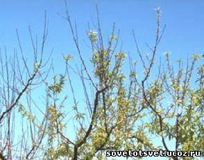 мелкие листья на яблоне засыхают