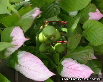 Актинидия (коломикта) выращивание, посадка, уход, размножение