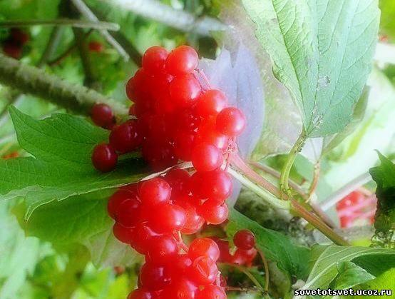 Лечение калиной, лечебные свойства, народные средства