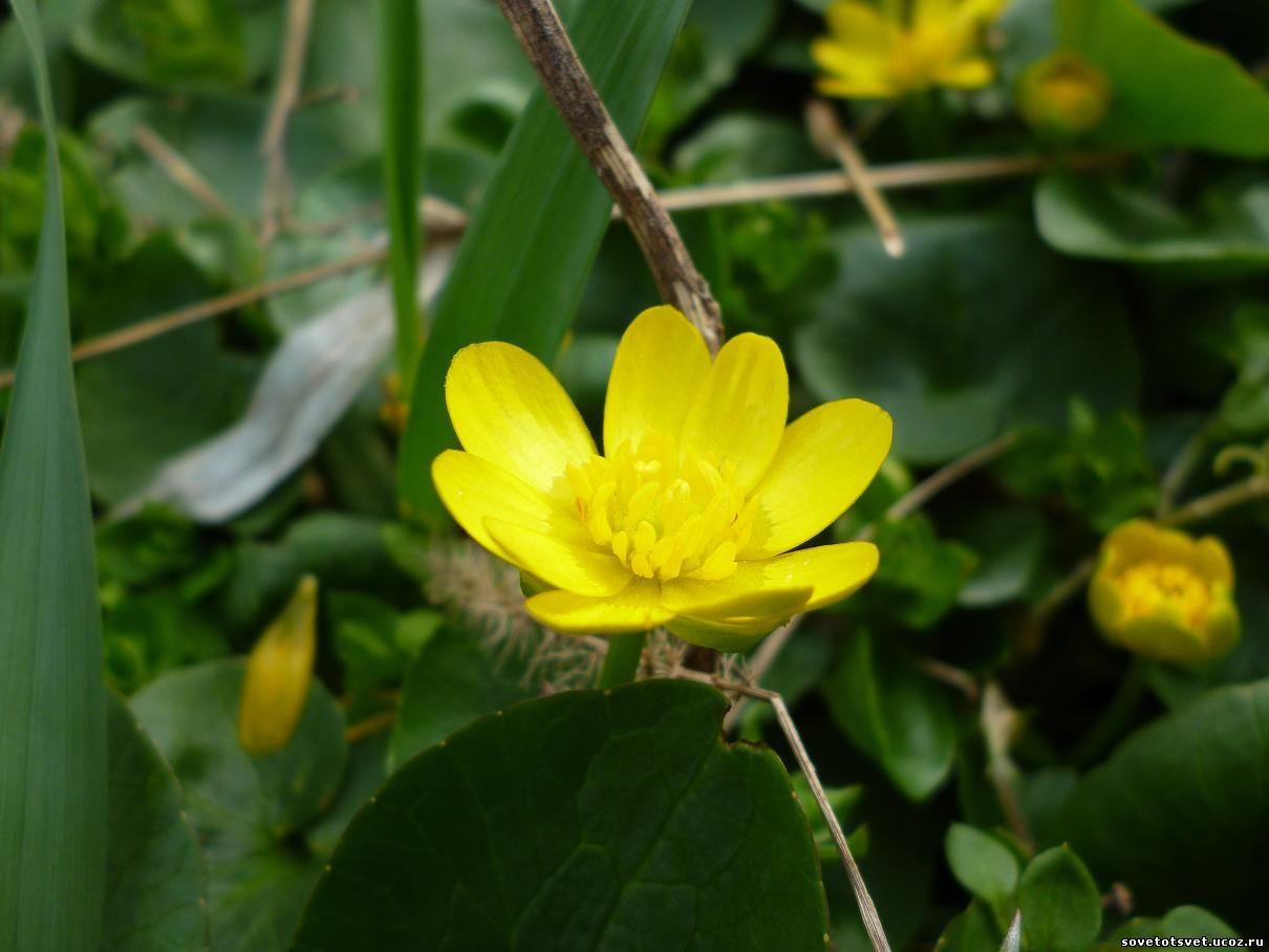 Фото цветы чистяк весенний