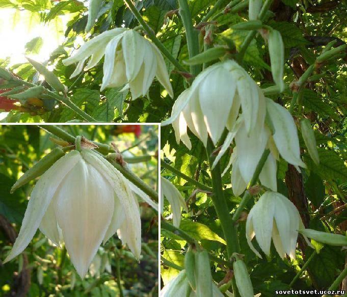 цветок юкка фото: