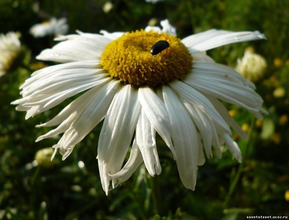 ромашка садовая нивняк