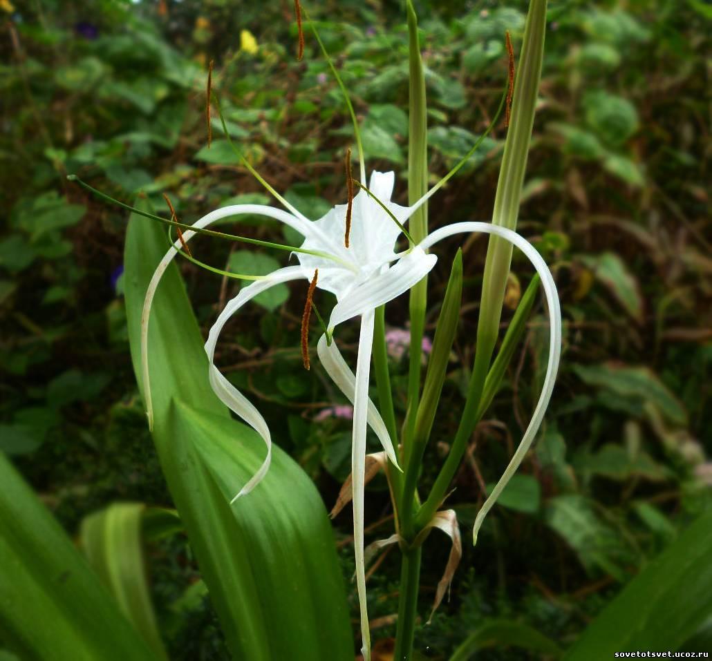 цветок гименокаллис выращивание фото