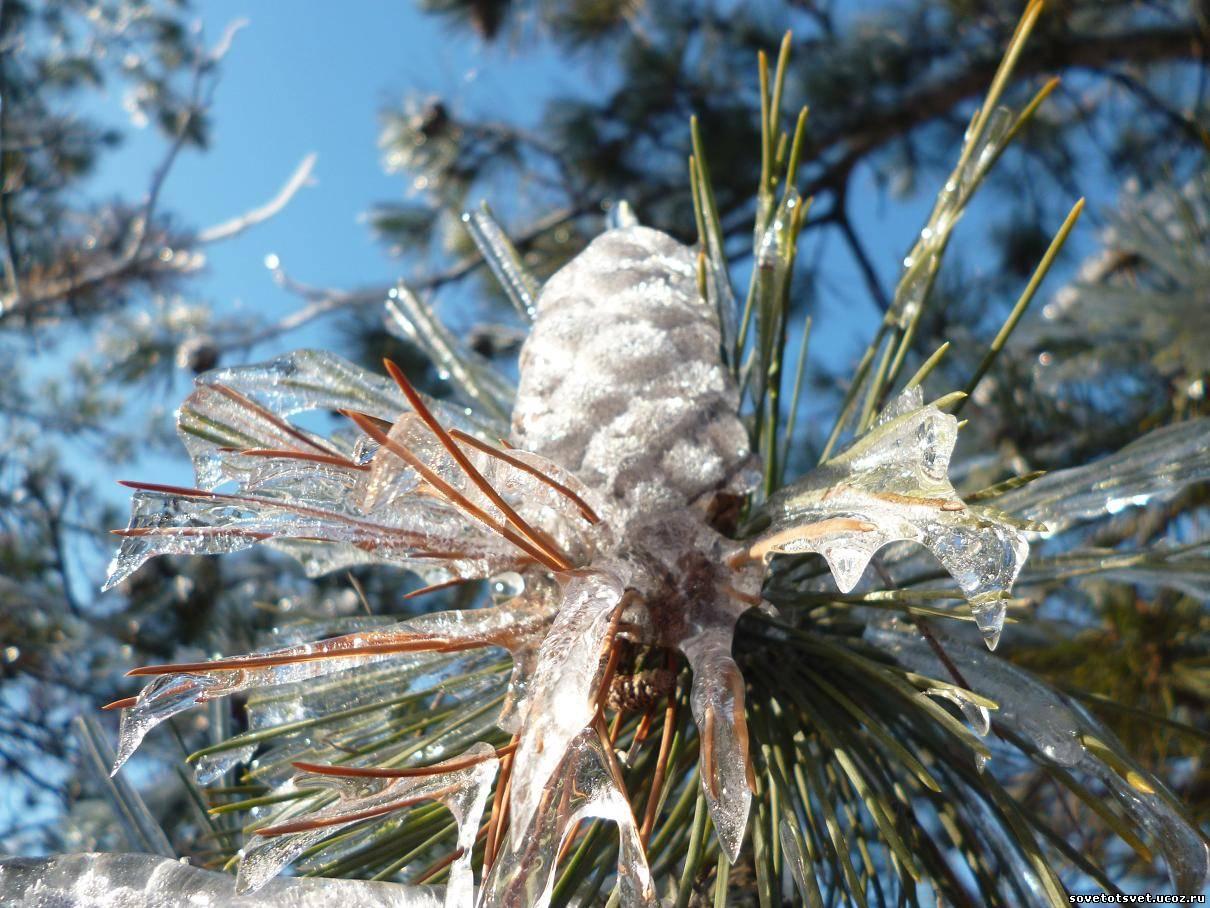 фото шишек зимой