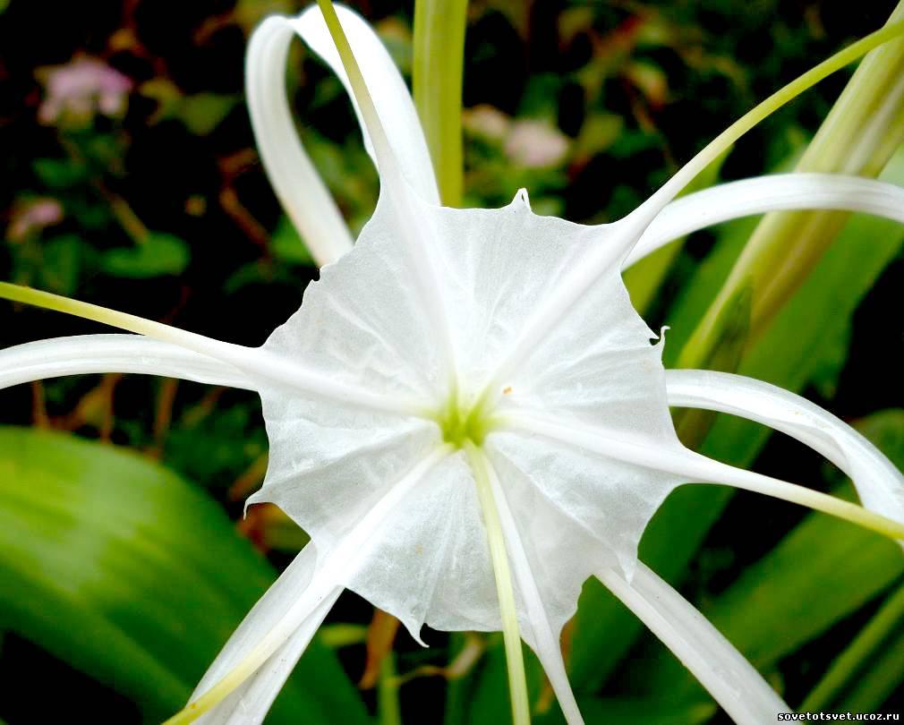 цветок гименокаллис