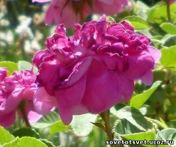 Рецепты заготовок из лепестков чайной розы – варенье