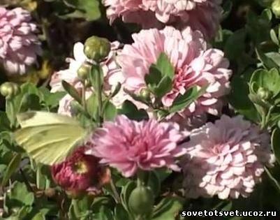 особенности выращивания хризантем на видео