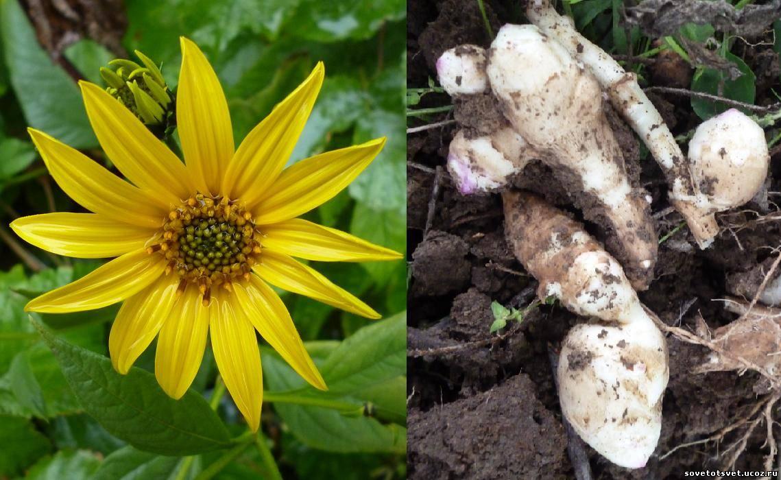 Выращивание топинамбура, хранение, когда выкапывать (собирать)