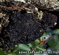 настой гриба модриновой губки