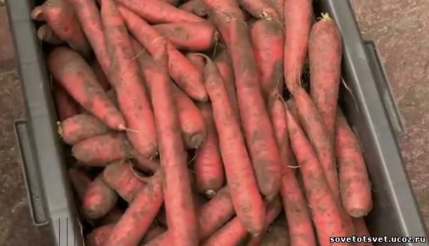 хранение моркови в опилках