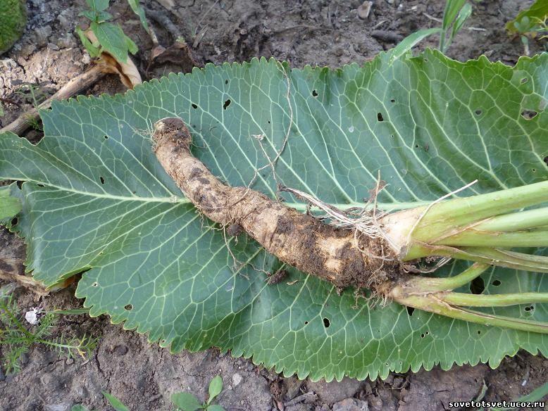 хрен выращивание, посадка, размножение