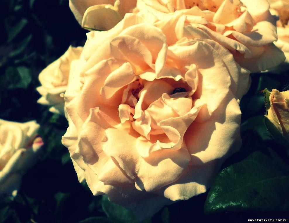 роза июль