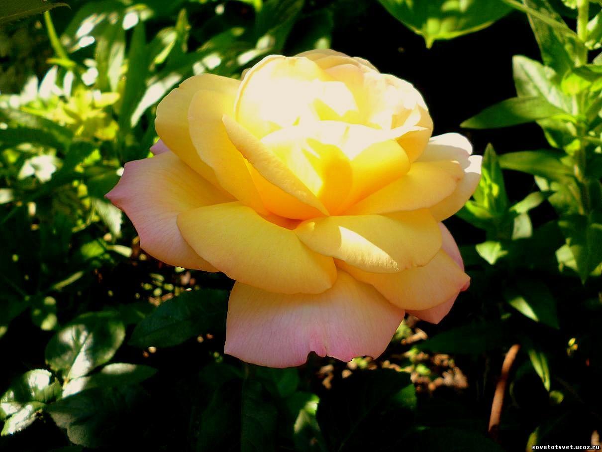 уход за розами на участке