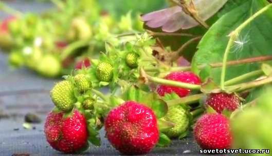 видео о посадке садовой земляники