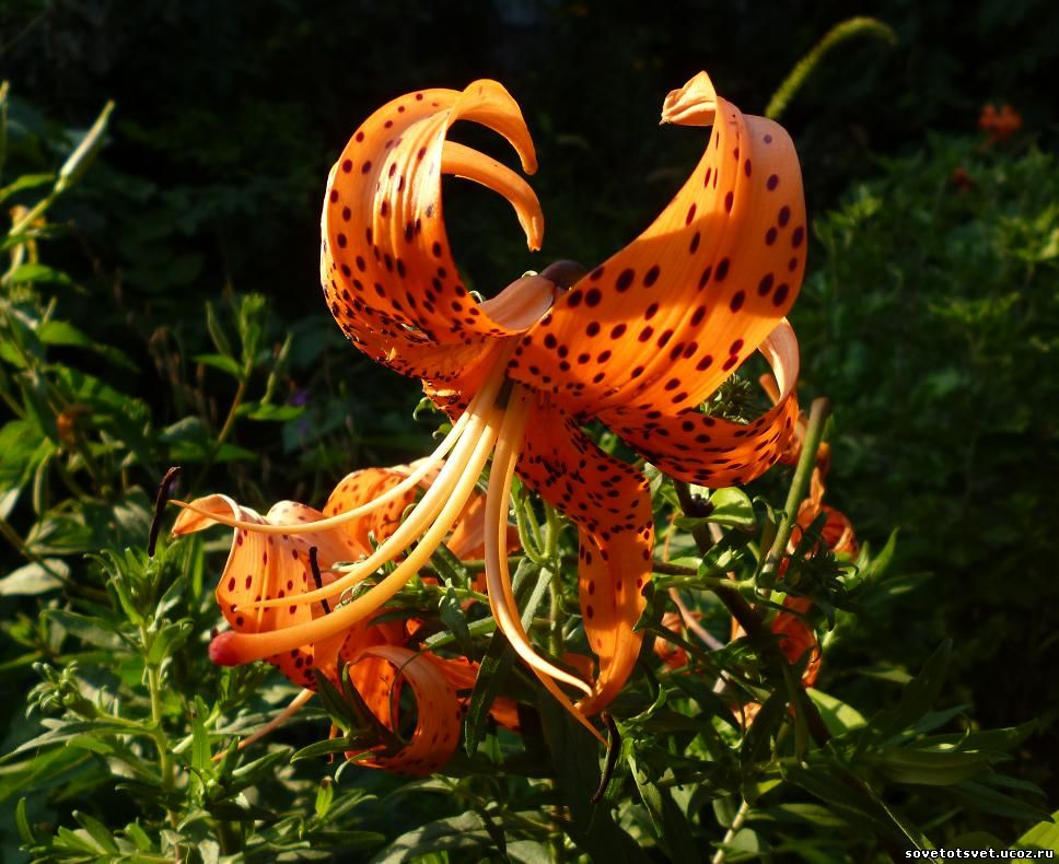 тигровые лилии